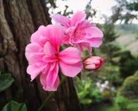 Roses grandes de couleur rose intense avec la petite ampoule images libres de droits