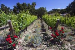 Roses and grapes in springtime, Oak View California vinyard, USA Stock Photos