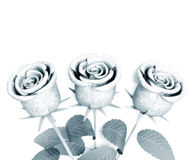 Roses for great celebrations Royalty Free Stock Images