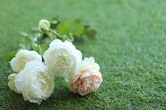 Roses on a green background stock photography