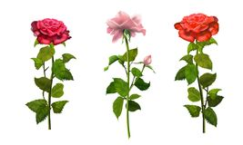 Roses isolated set romance wallpaper. Roses with green leafs isolated on white background set romance wallpaper pink and red roses banner with copy space for stock illustration