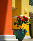 Roses in green pot side red and yellow wall Stock Photography