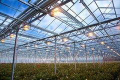 Roses Greenhouse stock photos