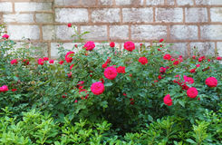 The roses growing near the brick, wall in the courtyard of Topka Stock Photo