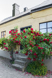 Roses growing near the house in a Swedish town Visby Stock Photos
