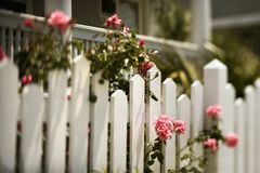 Roses growing over fence. Royalty Free Stock Image