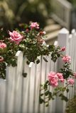 Roses growing over fence. Royalty Free Stock Photo