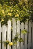 Roses growing over fence. Royalty Free Stock Photography