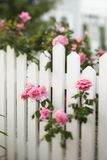 Roses growing over picket fence. Rose bush growing over white picket fence stock photography