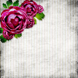 Roses on the grunge striped background Royalty Free Stock Images
