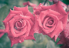 Roses in a grunge style Stock Images
