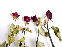 Roses the Haggard Royalty Free Stock Photo