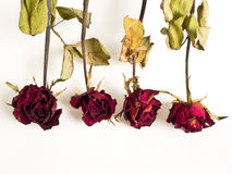 Roses the Haggard Royalty Free Stock Image