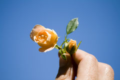 Roses in hand Royalty Free Stock Photo