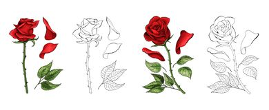 Roses hand drawing and colored. A blossoming rosebud. Vector illustration. Roses hand drawing and colored to red with shadows. A blossoming rosebud flower with stock illustration