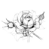 Roses hand-drawn pencil. Flowers roses drawn with a pencil on a white background Royalty Free Stock Image