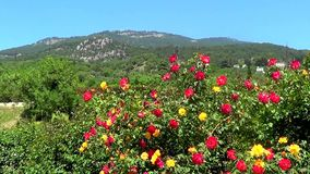 Roses and hills stock video footage