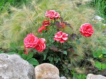 Roses and hordeum Royalty Free Stock Image
