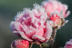 Roses with ice crystals Stock Photo