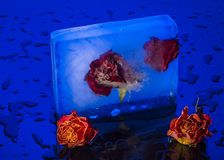 Roses in ice Stock Image