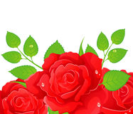 Roses illustration Stock Images