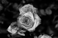 Free Roses In Detail In Black And White Stock Photography - 58809652