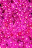 Roses indien miroitant l'usine de glace Images libres de droits