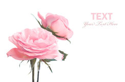 Roses isolated Stock Photography