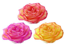 Roses isolated Royalty Free Stock Photos