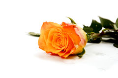 Free Roses Isolated On White Stock Photography - 8027522