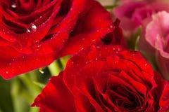 Roses closeup Stock Photo