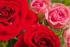 Roses closeup Stock Image