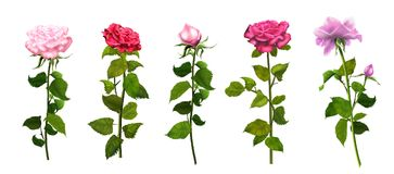 Roses isolated set romance watercolor. Roses with green leafs isolated on white background set romance wallpaper pink and red roses banner with copy space for Stock Photo