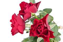 Roses isolated on white Stock Photos