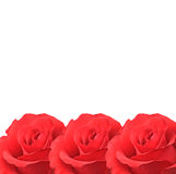 Roses isolated on white. Background royalty free stock photography