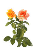 Roses  isolated on white Royalty Free Stock Images