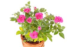 Roses isolated on white background Royalty Free Stock Photography