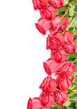 Roses isolated on white background Royalty Free Stock Images