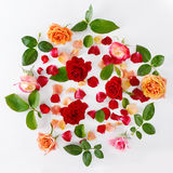 Roses isolated on white background Stock Images