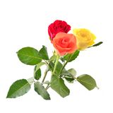 Roses isolated on white. Stock Image