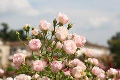 Roses italiennes Photo stock