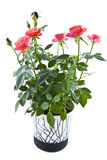 Roses in a jar Stock Image
