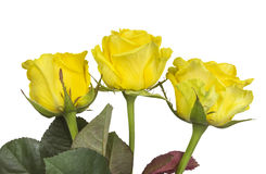 Roses - jaune d'isolement Image stock