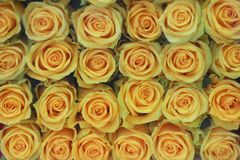 Roses jaunes photos stock