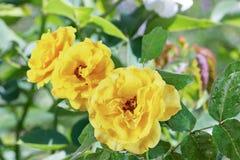 Roses jaunes Photo stock