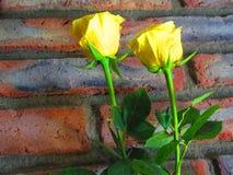 Roses jaunes Photographie stock