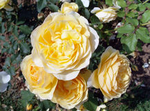 Roses jaunes image libre de droits