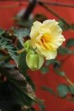 Roses jaunes de belle flore de fleurs Photo stock