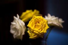Roses jaunes et blanches Photo libre de droits
