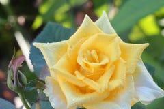 Roses jaunes et lumière du soleil de matin Photographie stock libre de droits